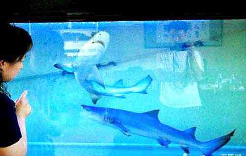 宠物鲨鱼 淡水观赏鲨鱼有几种?宠物鲨鱼有哪些?