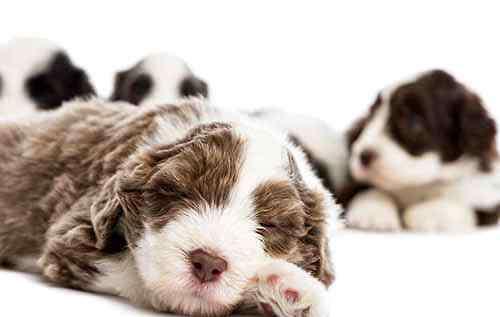 刚出生的小狗拉稀 刚出生的小狗拉稀怎么办?