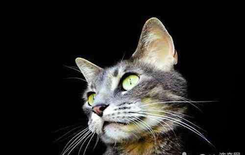 猫胡子的作用 原来猫胡子的作用这么多