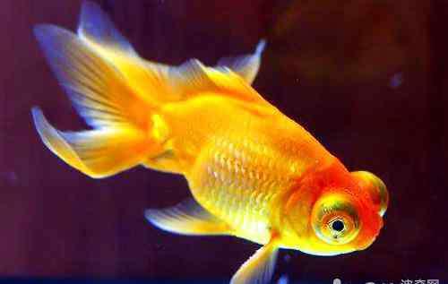 鱼掉鳞片是怎么回事 金鱼掉鳞是怎么回事