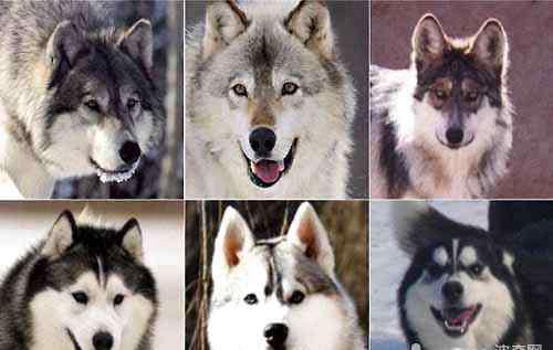 野生哈士奇有多厉害 哈士奇和狼有什么区别?