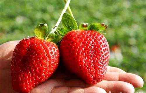 泰迪狗狗可以吃草莓吗 狗狗吃草莓,狗狗吃草莓好不好
