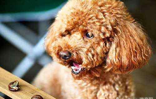 不掉毛的狗 盘点不容易掉毛的六种狗狗,不容易掉毛的狗狗有哪些