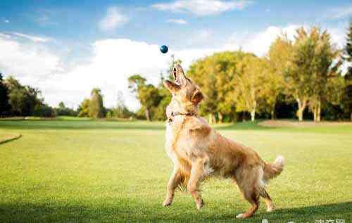 金毛寻回犬图片 为什么金毛犬又被称为金毛寻回犬