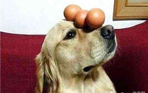 狗能吃鸡蛋吗 狗狗可不可以吃鸡蛋,狗狗吃鸡蛋应该注意什么