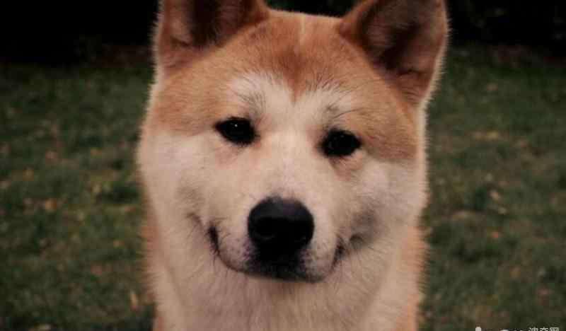 秋田犬八公 忠犬八公里面的狗,忠犬八公是什么狗?