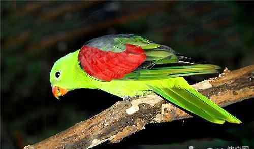 红翅鹦鹉 红翅鹦鹉多少钱一只?红翅鹦鹉价格盘点