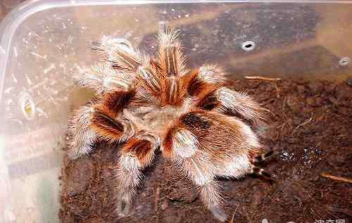 智利火玫瑰蜘蛛 智利火玫瑰有毒吗?被智利火玫瑰咬了怎么办?