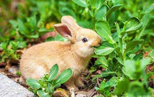 宠物兔子种类 最受欢迎的宠物兔品种都有哪些?