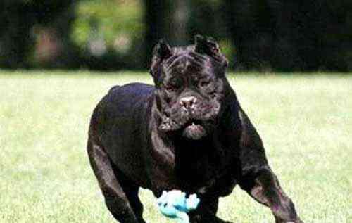 十大护卫犬 适合家养的护卫犬都有哪些?