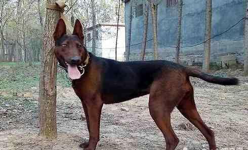 苏联红 苏联红犬多少钱一只?苏联红犬价格盘点