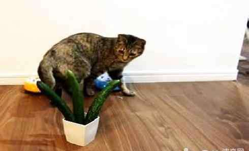 猫为什么怕黄瓜 猫为什么怕黄瓜 猫真的怕黄瓜吗