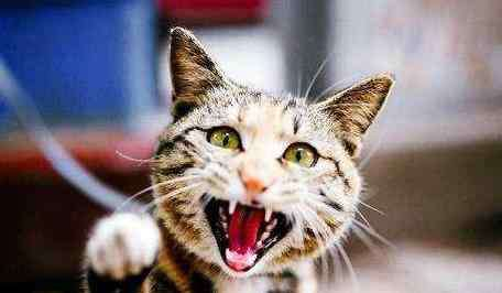 被猫咬了怎么办 被猫咬了怎么办?被猫咬了紧急处理措施