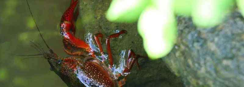 龙虾吃什么食物 龙虾吃什么食物