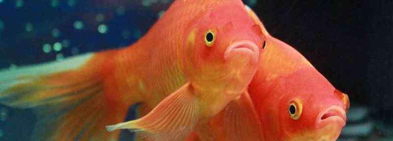 金鱼身上有白色絮状物 鱼缸里鱼身上有白色絮状物