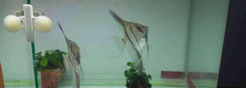 燕鱼繁殖正确方法 燕鱼繁殖正确方法