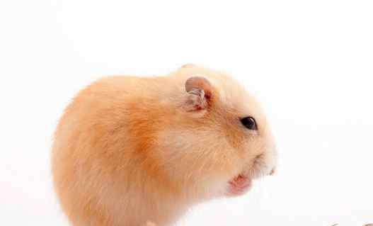 怎样救一个快死的仓鼠 仓鼠死了怎么可以救活
