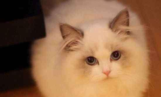 布偶猫纯种价格 纯种布偶猫价格多少钱,一只至少上万还很难买到