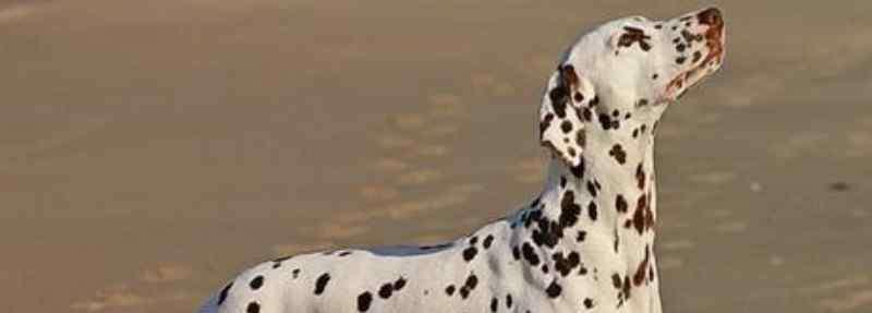 斑点狗价格 为什么很少人养斑点狗