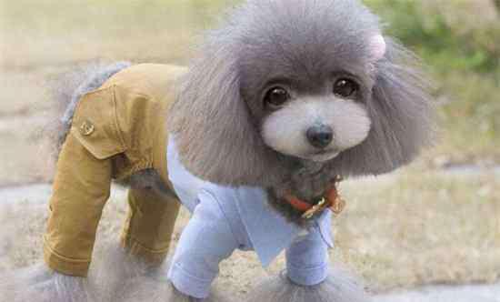 狗衣服的制作方法 泰迪狗衣服制作教程,手把手教你制作最美狗衣