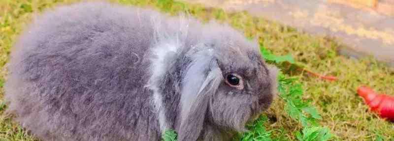 荷兰垂耳兔价格 纯种荷兰垂耳兔多少钱,一只垂耳兔的价钱大约是多少