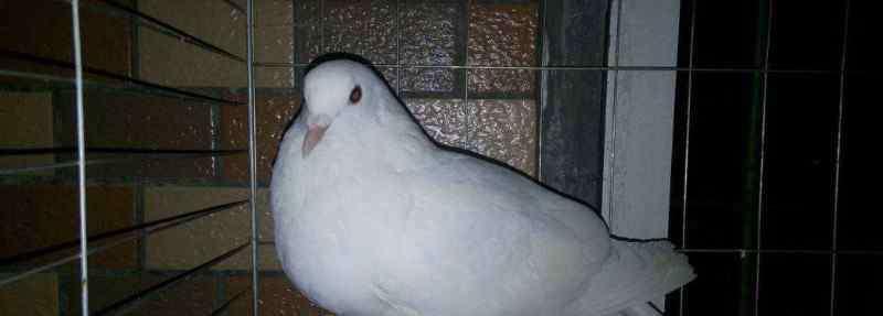 怎么看鸽子公母最准确 鸽子怎么分公母
