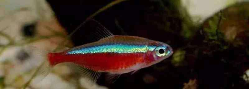 宝莲灯鱼 宝莲灯鱼与红绿灯区别
