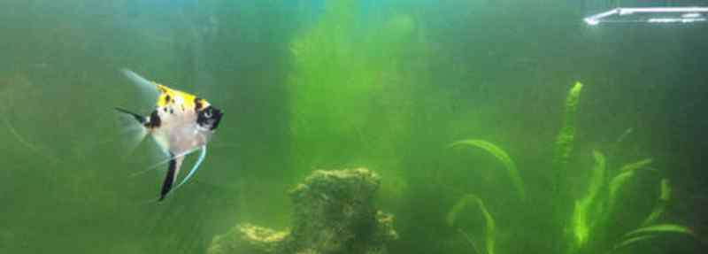 鱼缸水发绿是什么原因 鱼缸的水为什么会变绿