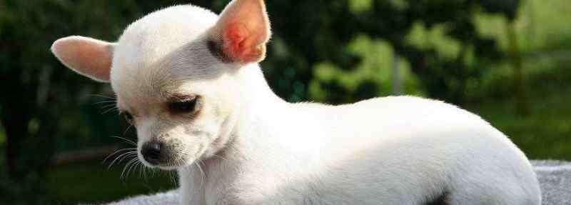 狗狗肾衰竭症状有哪些 狗狗慢性肾衰竭存活率