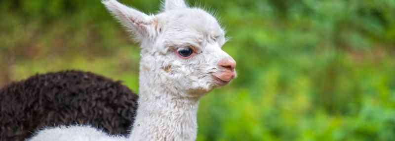 吟稻雁 羊驼和草尼马的区别