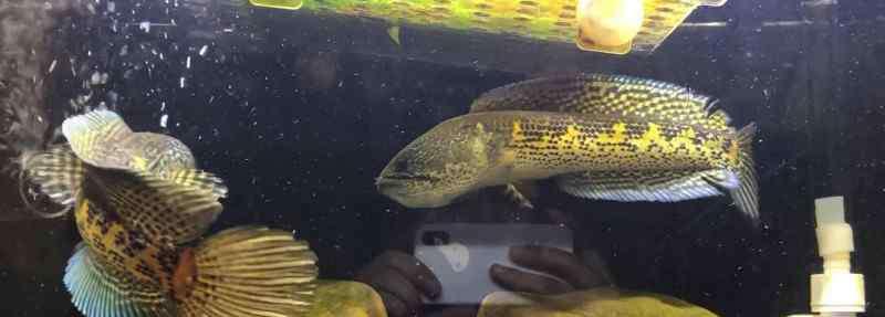 雷龙鱼怎么养 雷龙鱼怎么养
