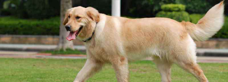 最好的护卫犬 护卫犬哪种好