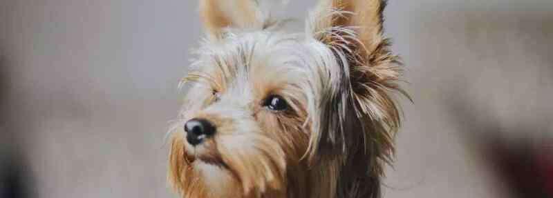 狗流鼻涕是怎么回事 狗狗流鼻涕是怎么回事