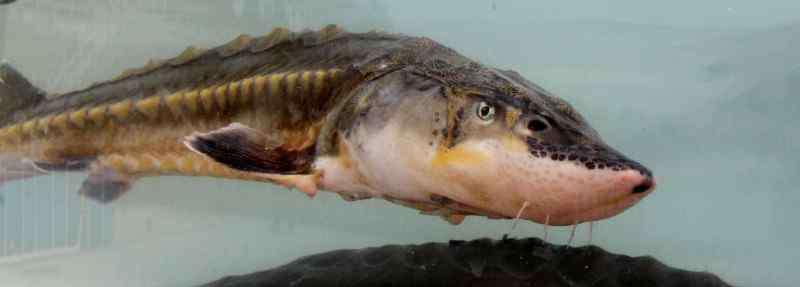 鲟鱼吃什么 鲟鱼吃什么食物