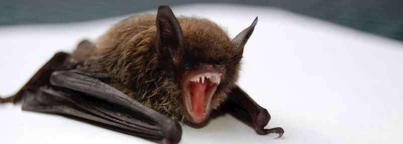 蝙蝠会主动攻击人吗 蝙蝠会咬人吗