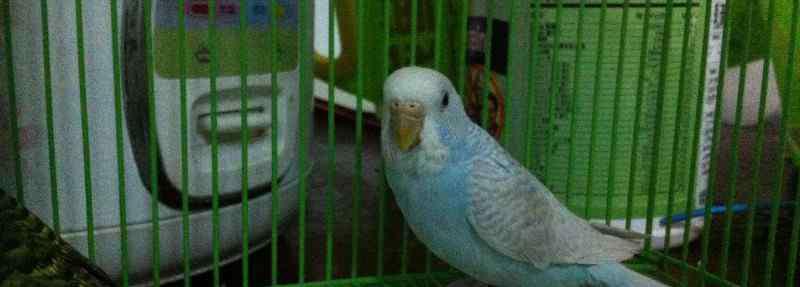 家养小鹦鹉吃什么食物 家养小鹦鹉吃什么食物