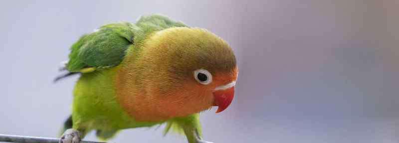 牡丹鹦鹉会说话吗 牡丹鹦鹉会说话吗