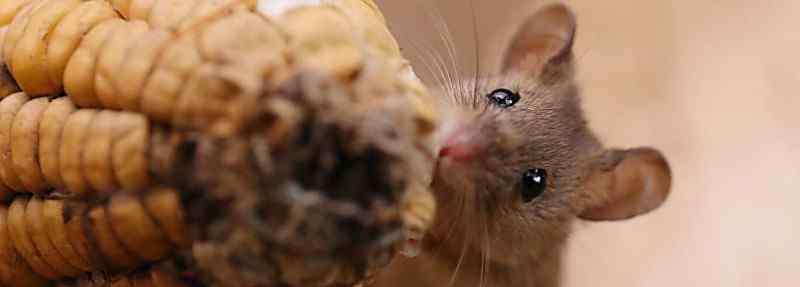 老鼠能活多久 老鼠断水能活多久