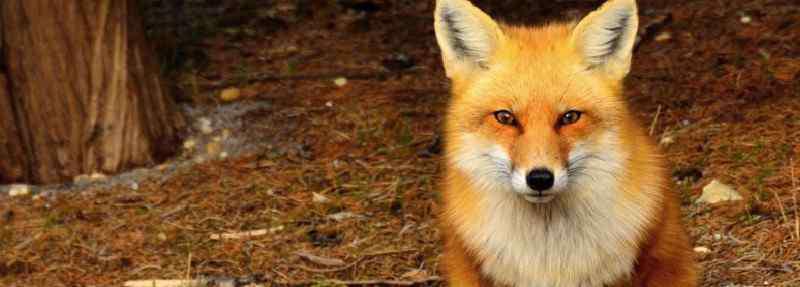 狐狸智商相当人类几岁 狐狸智商相当人类几岁