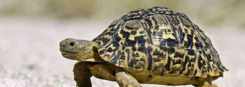 乌龟为什么长寿 乌龟为什么长寿