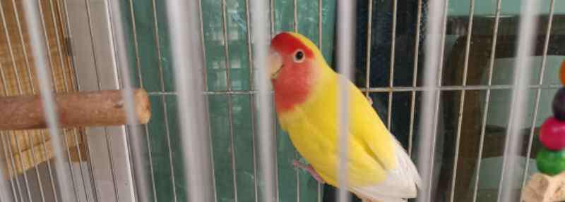 黄桃鹦鹉 黄桃鹦鹉下蛋前的征兆