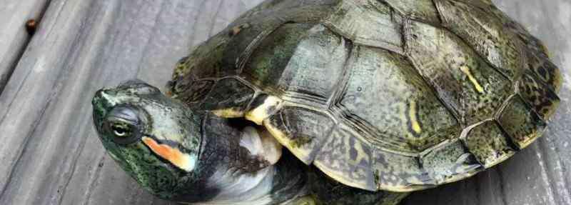 巴西龟的寿命 红耳巴西龟一般的寿命有多长