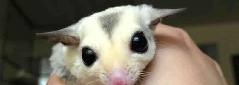 袋鼠的寿命 蜜袋鼯寿命有多长
