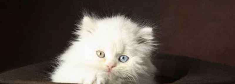 异瞳猫大概多少钱一只 纯种鸳鸯眼波斯猫多少钱一只,价格一般在8000元左右