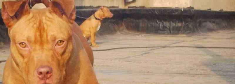 世界十大恶犬 世界十大恶犬