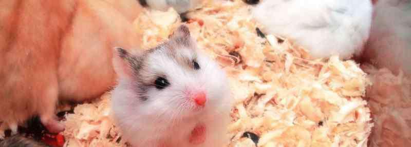 养仓鼠对人有哪些危害 养仓鼠对人有哪些危害