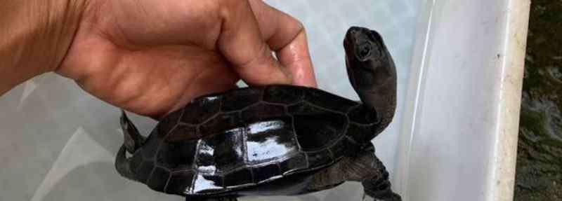 墨龟 墨龟为什么只能养一只