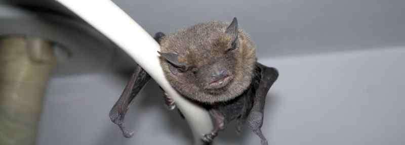 如何驱赶蝙蝠 家里有蝙蝠怎么赶走,教你赶走蝙蝠小妙招