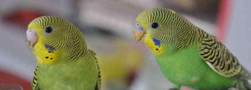 虎皮鹦鹉怎么分辨雌雄 虎皮鹦鹉怎么分公母