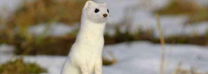 宠物雪貂 白鼬和雪貂怎么区分